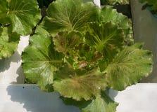 Agricoltura con le verdure organiche Immagine Stock