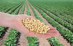 Agricoltura, concetto della soia Fotografia Stock