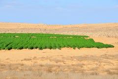 Agricoltura - crescendo nel deserto Fotografie Stock