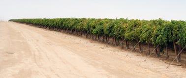 Agricoltura cruda dell'azienda agricola di California dell'uva della frutta dell'alimento della lunga fila Immagine Stock