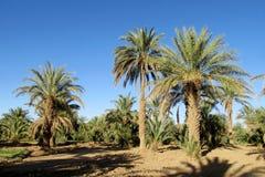 Agricoltura degli alberi della palma da datteri Fotografia Stock Libera da Diritti