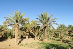Agricoltura degli alberi della palma da datteri Fotografia Stock