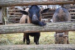 Agricoltura degli animali della capra Immagini Stock Libere da Diritti