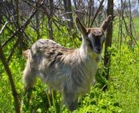 Agricoltura degli animali della capra Fotografia Stock