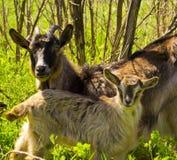 Agricoltura degli animali della capra Fotografia Stock Libera da Diritti