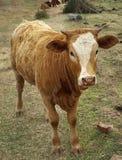 Agricoltura dei bovini da carne Immagini Stock