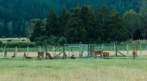 Agricoltura dei cervi Fotografia Stock