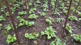Agricoltura dei fagioli Immagine Stock