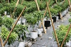 Agricoltura dei peperoncini rossi Fotografie Stock Libere da Diritti
