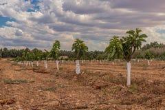 Agricoltura dei piccoli alberi della piantagione della ciliegia estesa fotografia stock libera da diritti