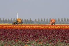 agricoltura dei tulipani Fotografie Stock Libere da Diritti
