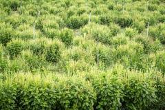 Agricoltura del basilico Immagini Stock