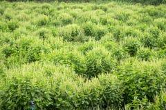 Agricoltura del basilico Immagini Stock Libere da Diritti