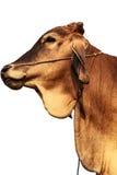 Agricoltura del bestiame Immagini Stock Libere da Diritti