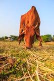 Agricoltura del bestiame Immagine Stock