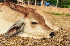 Agricoltura del bestiame Immagini Stock