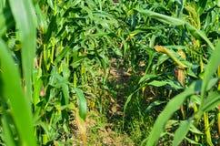 Agricoltura del campo di grano Fotografie Stock