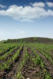Agricoltura del campo di grano Immagine Stock Libera da Diritti