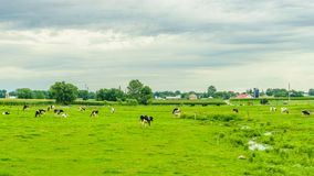 Agricoltura del campo del granaio dell'azienda agricola del paese di Amish e mucche di pascolo a Lancaster, PA Fotografia Stock Libera da Diritti