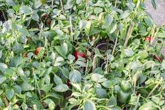 Agricoltura del capsico Immagine Stock Libera da Diritti
