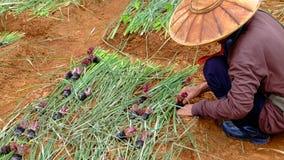 Agricoltura del cavolo Immagini Stock Libere da Diritti