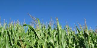 Agricoltura del cereale con cielo blu in estate Fotografia Stock Libera da Diritti