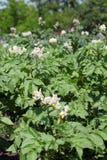 Agricoltura del fiore della patata Immagine Stock Libera da Diritti
