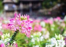 Agricoltura del fiore di ragno Fotografie Stock