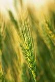 Agricoltura del frumento Immagini Stock Libere da Diritti