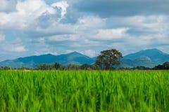 Agricoltura del giacimento asiatico del riso di bello paesaggio dell'Asia con il clea Fotografia Stock Libera da Diritti