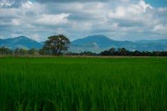Agricoltura del giacimento asiatico del riso di bello paesaggio dell'Asia con il clea Immagini Stock Libere da Diritti