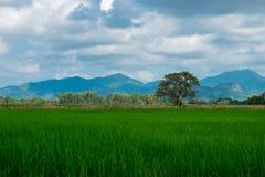 Agricoltura del giacimento asiatico del riso di bello paesaggio dell'Asia con il clea Fotografia Stock