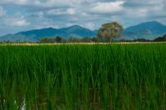 Agricoltura del giacimento asiatico del riso di bello paesaggio dell'Asia con il clea Immagine Stock