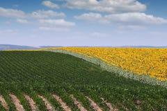Agricoltura del giacimento del girasole e della soia Immagine Stock Libera da Diritti