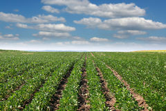 Agricoltura del giacimento della soia Fotografia Stock Libera da Diritti