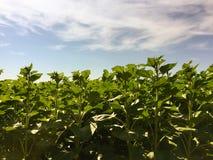 Agricoltura del girasole Natura verde Campo rurale sulla terra dell'azienda agricola di estate Crescita di pianta Agricoltura del Immagini Stock Libere da Diritti