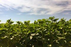 Agricoltura del girasole Natura verde Campo rurale sulla terra dell'azienda agricola di estate Crescita di pianta Agricoltura del Fotografie Stock