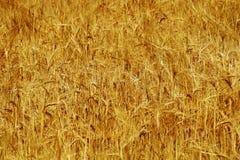 Agricoltura del grano del giacimento di grano matura e pronta per il raccolto Fotografia Stock