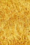 Agricoltura del grano del giacimento di grano matura e pronta per il raccolto Immagini Stock Libere da Diritti