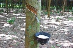Agricoltura del lattice dell'albero di gomma Fotografie Stock Libere da Diritti