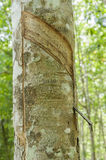 Agricoltura del lattice dell'albero di gomma Fotografia Stock Libera da Diritti