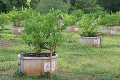 Agricoltura del limone Immagini Stock Libere da Diritti