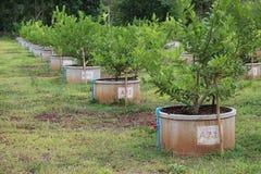 Agricoltura del limone Fotografia Stock