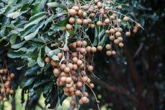 Agricoltura del Longan Fotografia Stock