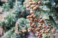 Agricoltura del Longan Fotografie Stock Libere da Diritti