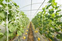 Agricoltura del melone Immagini Stock