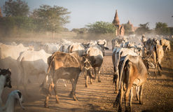 Agricoltura del Myanmar Fotografie Stock
