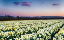 Agricoltura del narciso Immagini Stock