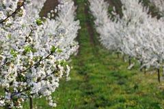 Agricoltura del paesaggio degli alberi del frutteto di ciliegia Fotografia Stock