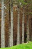 Agricoltura del pino Immagini Stock Libere da Diritti